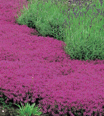 Red Creeping Thyme
