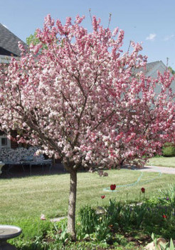 Coralburst Flowering Crabapple