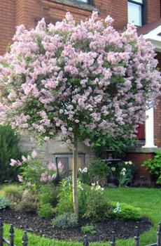 Miss Kim Korean Lilac Tree