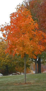 Fall Fiesta Sugar Maple