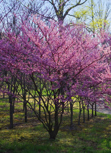 Eastern Redbud (multi-stem)