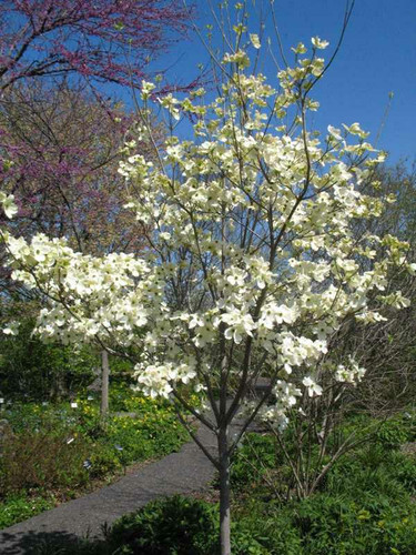 Cherokee Princess Flowering Dogwood