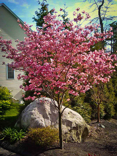 Cherokee Brave Flowering Dogwood