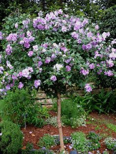 Lavender Chiffon Rose of Sharon Tree