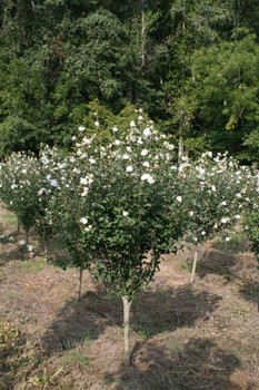 White Chiffon Rose of Sharon Tree