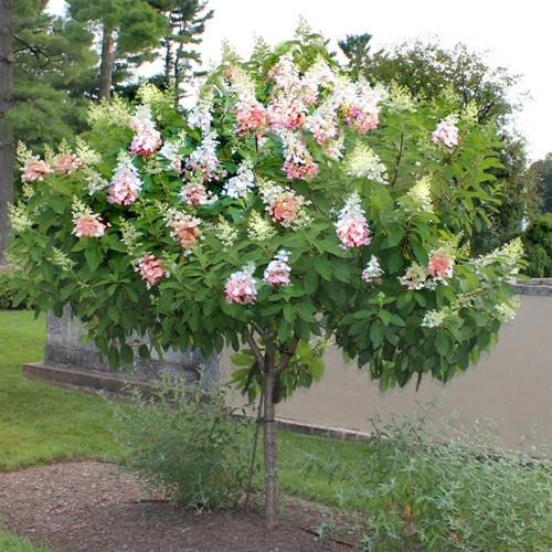 pinky winky hydrangea tree greenbee landscape. Black Bedroom Furniture Sets. Home Design Ideas
