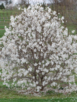 Royal Star Magnolia