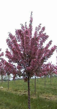 Profusion Flowering Crabapple