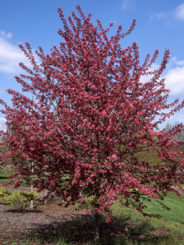 Purple Prince Flowering Crabapple