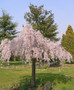Double Pink Weeping Cherry