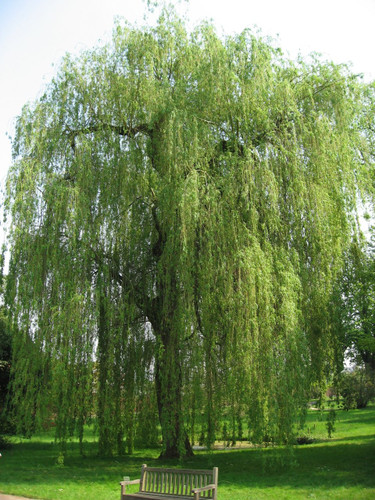 Niobe Weeping Willow