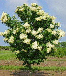 Ivory Silk Lilac (Tree Form)