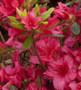 Girard's Rose Azalea