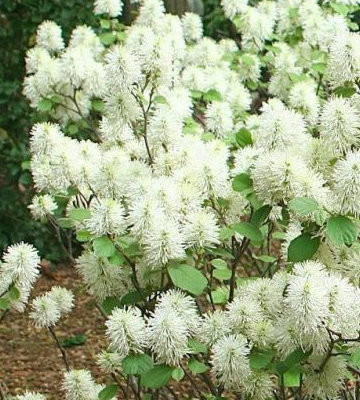 Blue Shadow Fothergilla