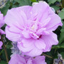 Ardens Double Pink Althea
