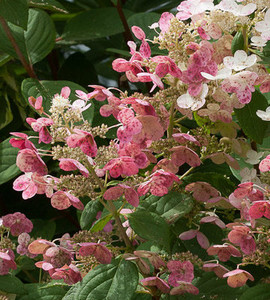 Little Quick Fire Hydrangea