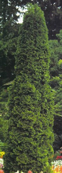 Degroot's Spire Arborvitae