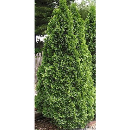 Emerald Green Arborvitae