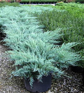 Grey Owl Juniper