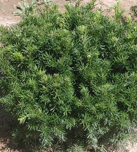 Ward's Yew