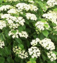 Autumn Jazz Viburnum