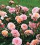 Apricot Drift Groundcover Rose
