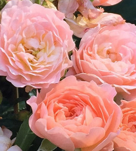 Apricot Drift Groundcover Rose