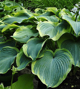 Earth Angel Hosta