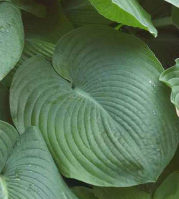 Blue Giant Hosta