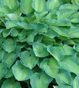 Sweet Home Chicago Hosta