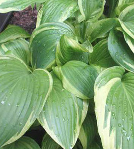 Gold Crown Hosta