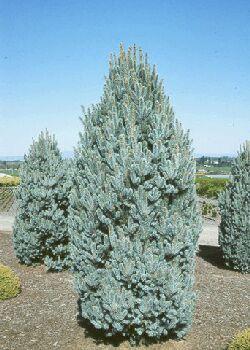 Fastigiata Blue Spruce