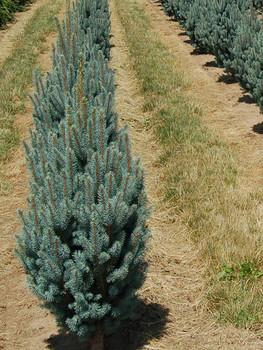 Blue Totem Fastigiata Blue Spruce