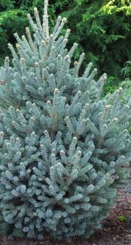 Yukon Blue Spruce
