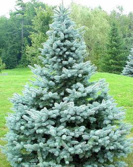 Ontario Blue Spruce