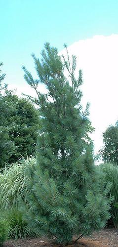 Columnar White Pine