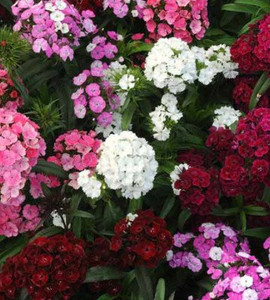 Dianthus Dash Mix