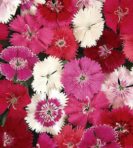 Single Dianthus