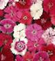 Single Dianthus