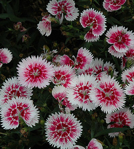Dianthus Ideal Select White Fire