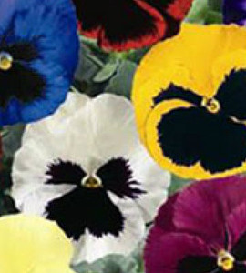 Pansy Delta Premium Blotch Mix