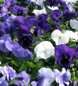 Pansy Delta Premium Cool Water Mix