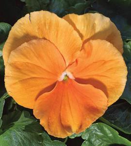 Pansy Delta Premium Pure Orange