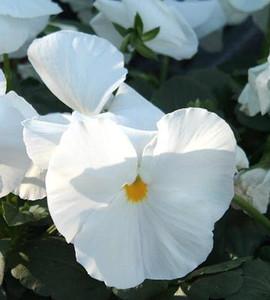 Pansy Delta Premium Pure White