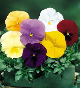Pansy Delta Pure Colors Mix