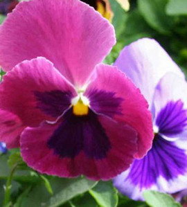 Pansy Matrix Coastal Sunrise Mix