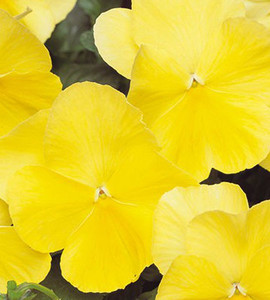 Pansy Spring Matrix Lemon