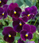 Pansy Spring Matrix Purple