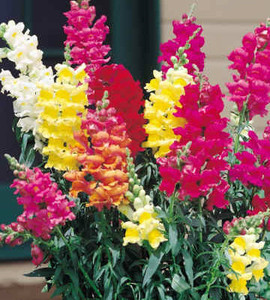 Snapdragon Rocket Mix