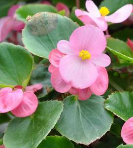 Begonia Bada Bing Pink